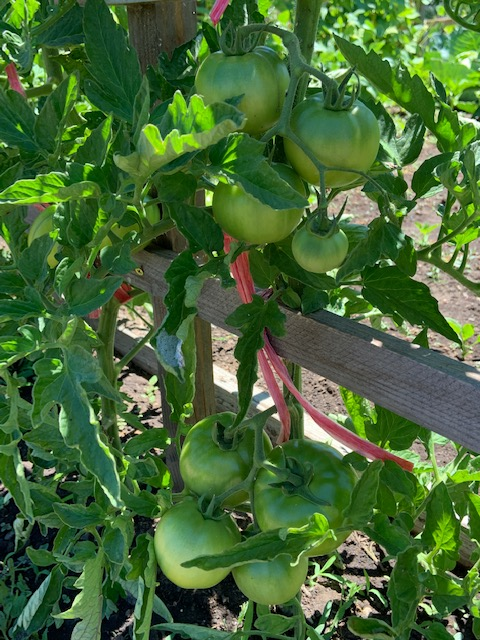 green tomatoes growing on a vine